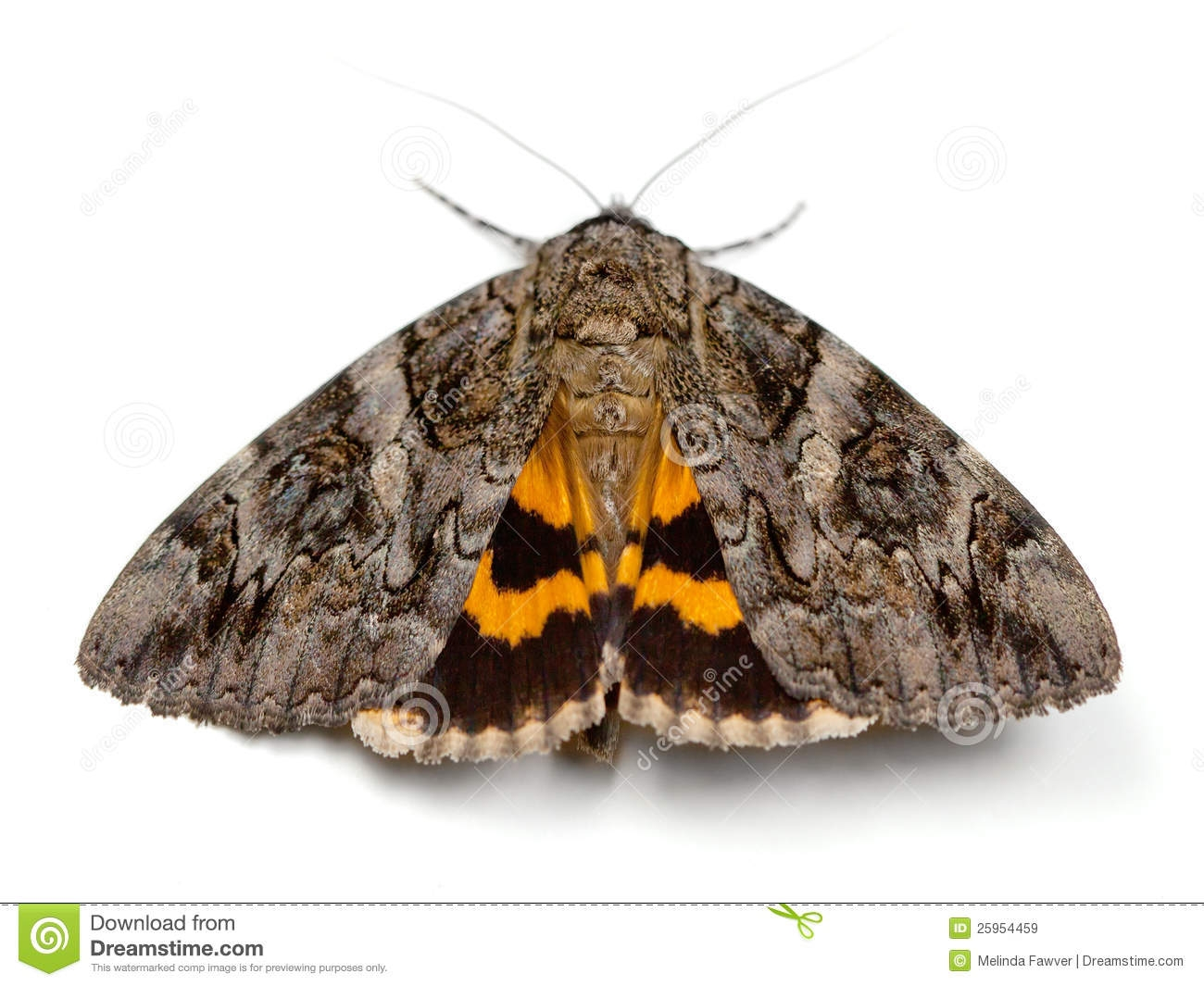 orange coloring page - royalty free stock images underwing moth image