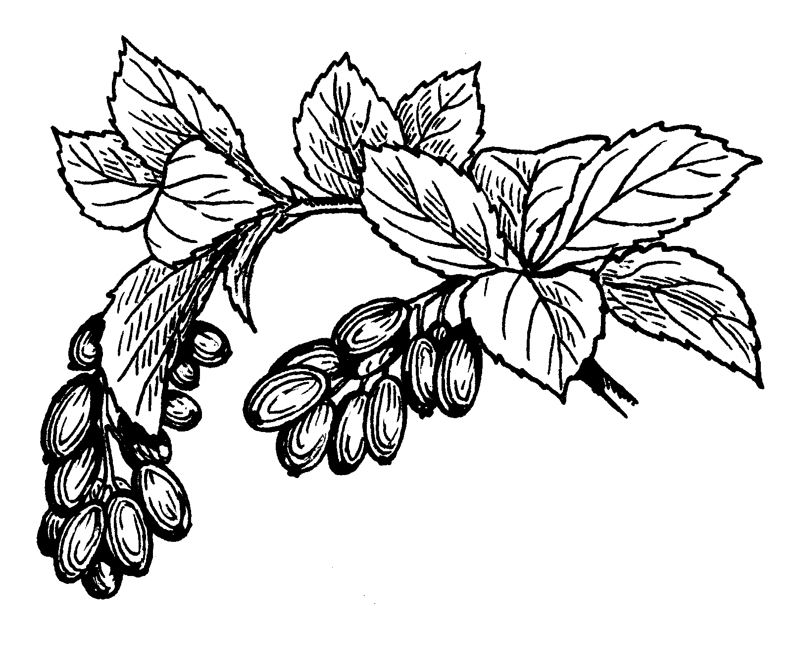 palm tree coloring pages - File Barberry PSF