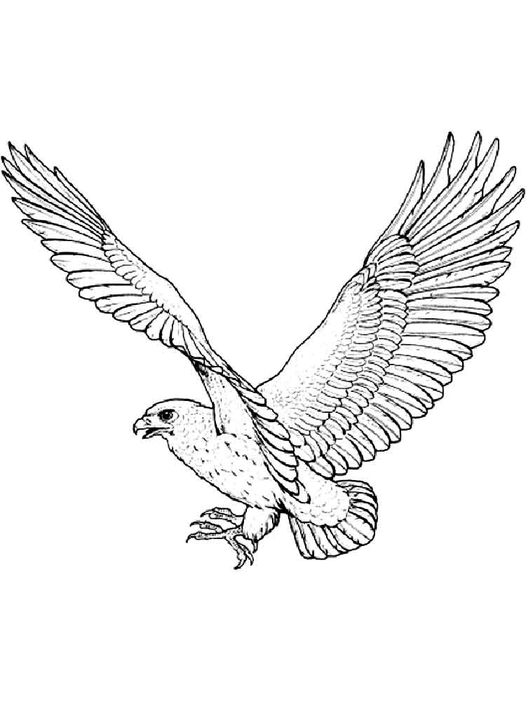 peacock coloring pages - hawk coloring pages