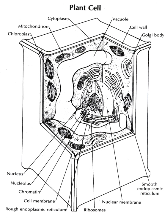 plant cell coloring page - r=unlabeled plant cell