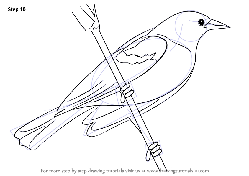 printable bird coloring pages - how to draw a red winged blackbird