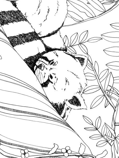 Red Panda Coloring Page - Lounging Red Panda Coloring Page On Behance
