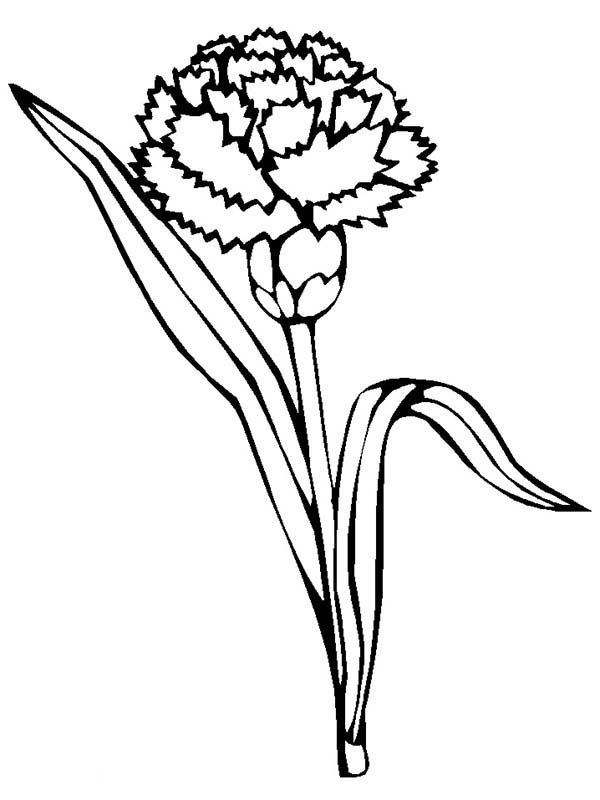 Simple Flower Coloring Pages - Carnation Drawing Clipart Best