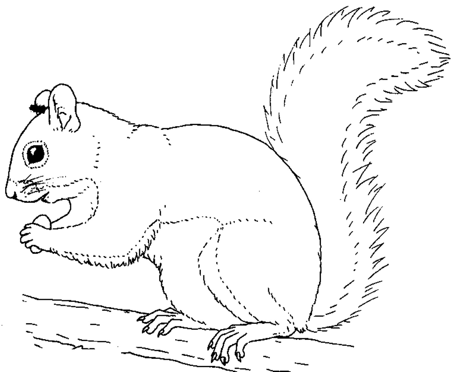 squirrel coloring page - printable squirrel coloring pages