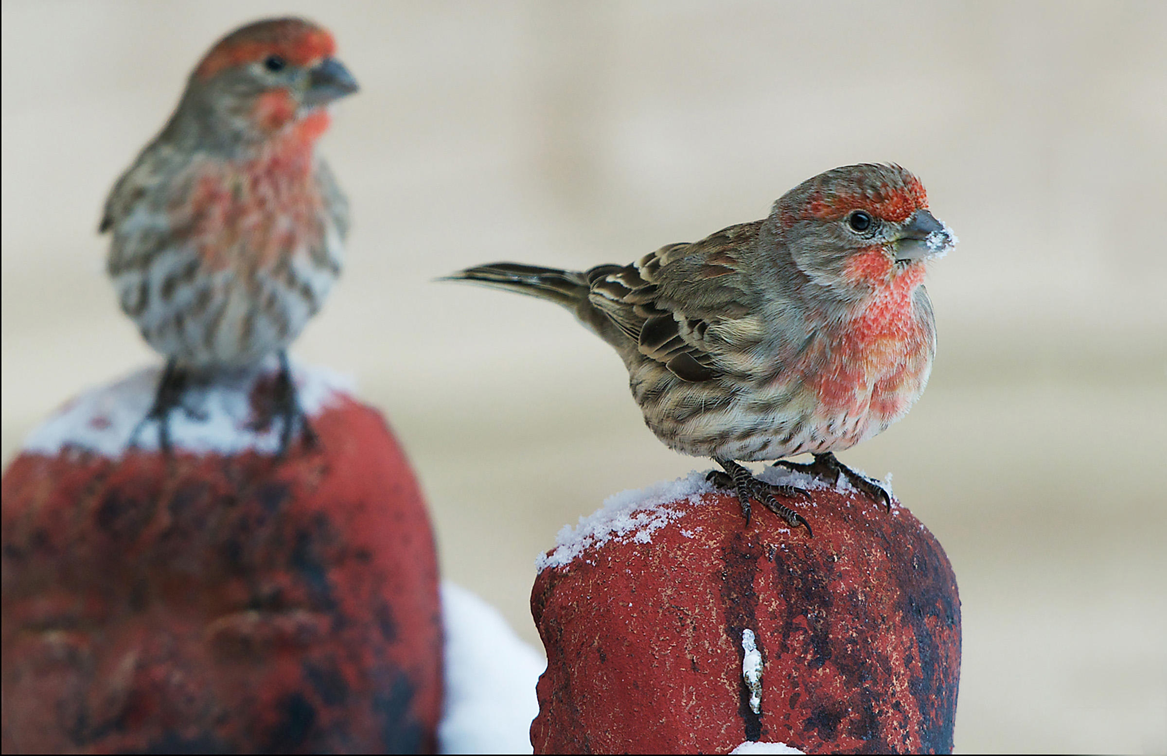 the color purple page count - house finch