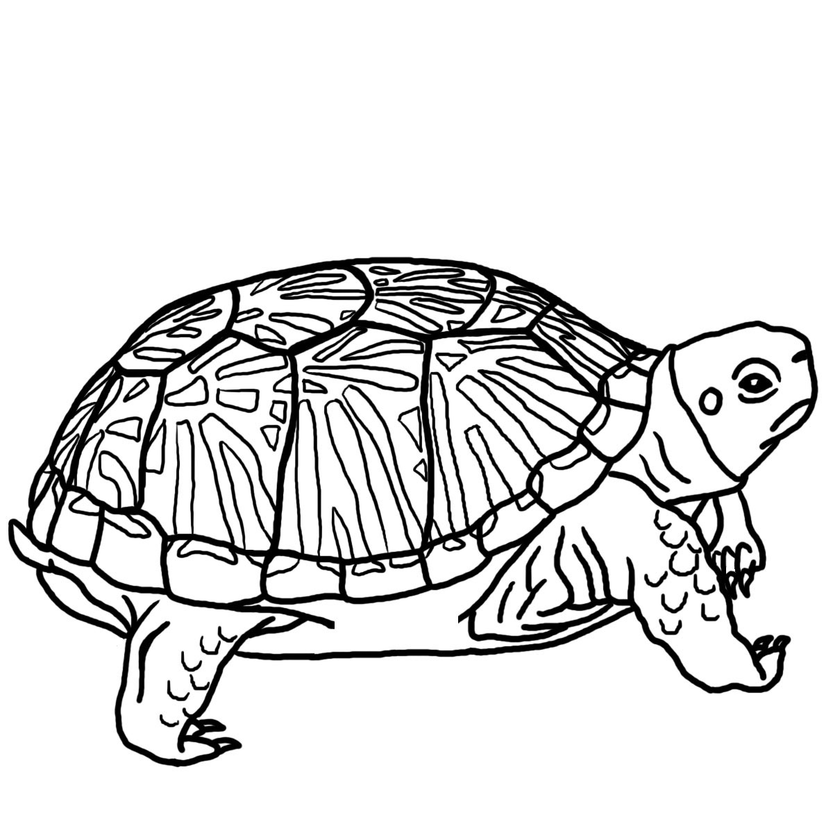 24 Turtle Coloring Pages Printable Images | FREE COLORING PAGES - Part 2