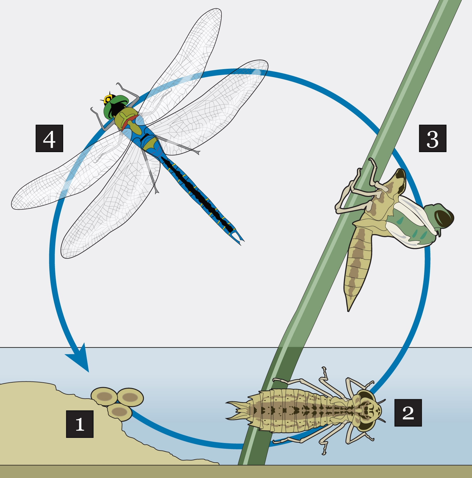 water cycle coloring page - ct met 0805 dragonfly facts graphic story
