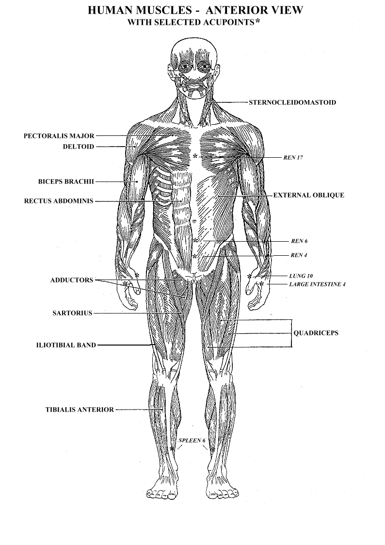 yoga coloring pages - printable muscle diagram human body major muscles on the front of the body yoga pain management