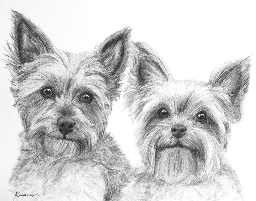yorkie coloring pages - two yorkshire terriers in charcoal kate sumners