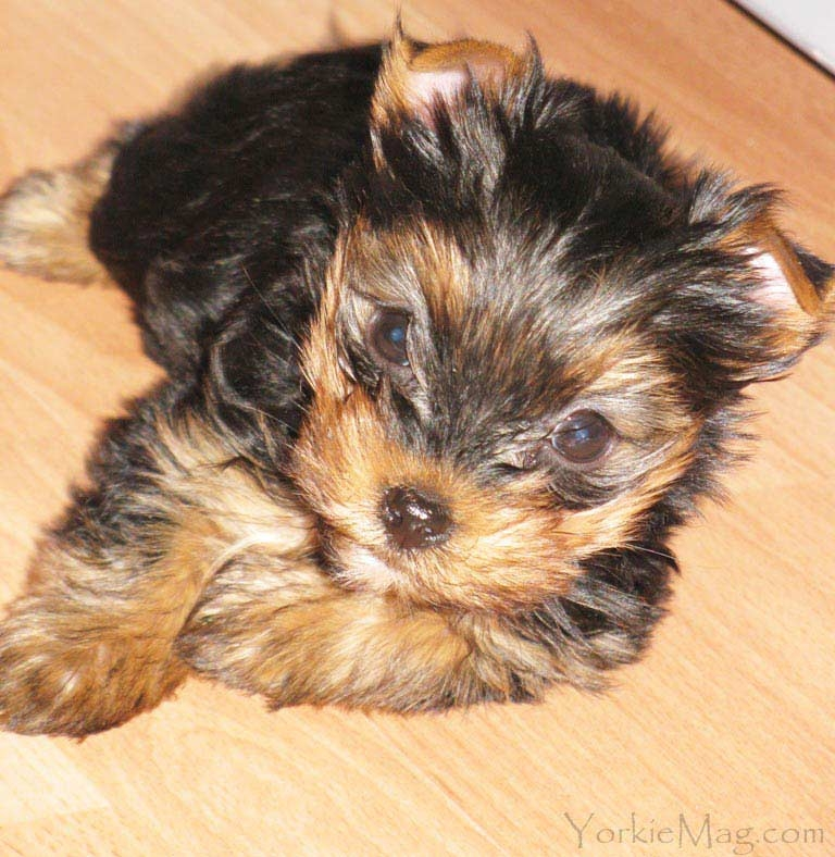 yorkie coloring pages - yorkie colors