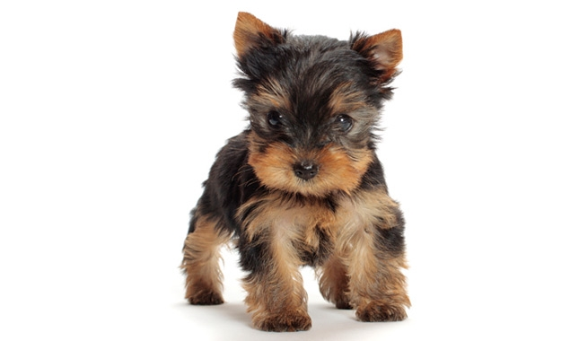 yorkie coloring pages - yorkshire terrier