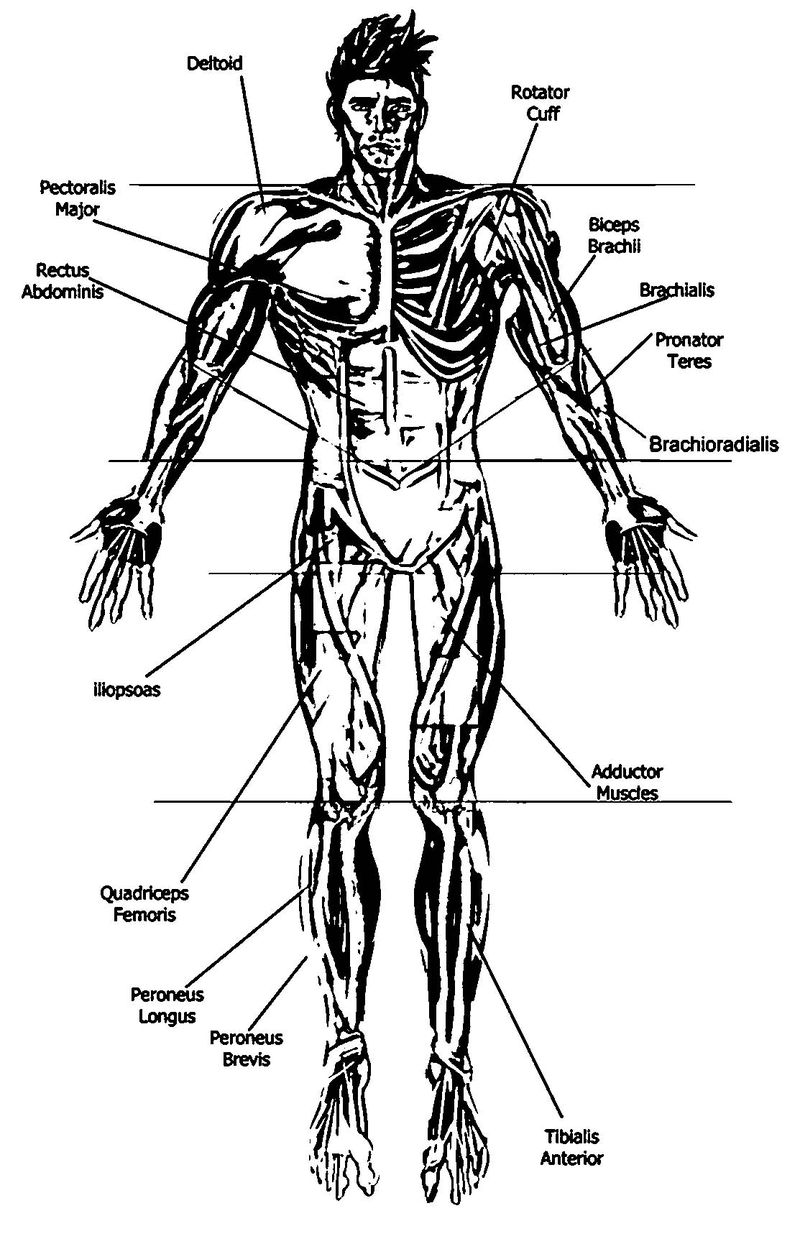 Anatomy And Physiology Anterior Diagram Picture Sketch Drawing Coloring Page
