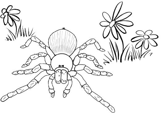 Beautiful Tarantula Coloring Page