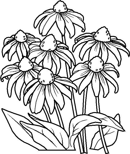 Coneflower Coloring Page
