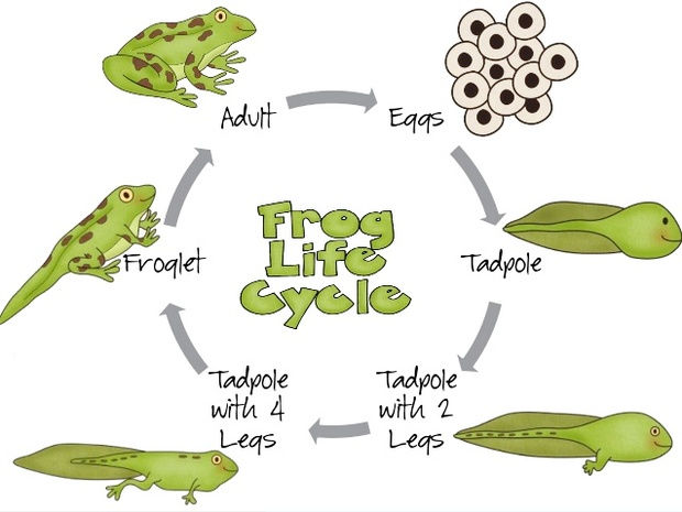 Frog Life Cycle Drawing And Painting