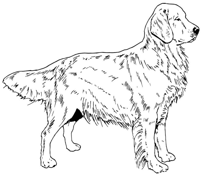 Golden Retriever Coloring Page Activity 001