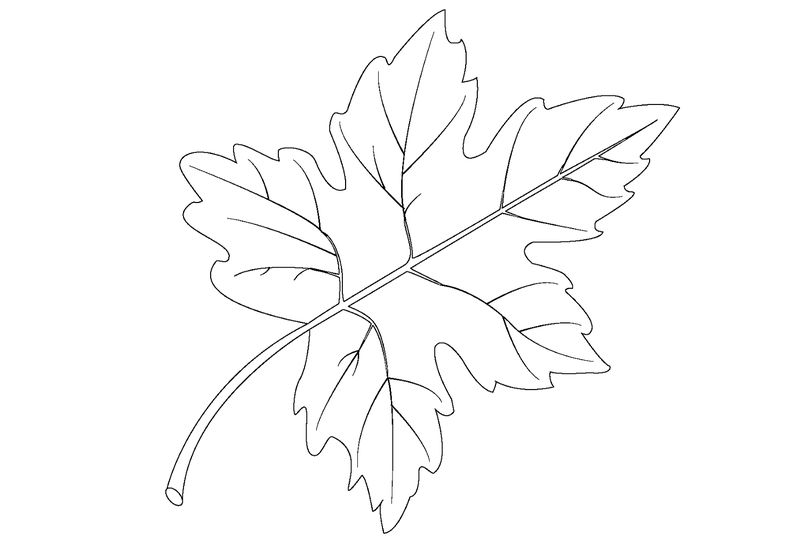 Leaf Coloring Page Maple