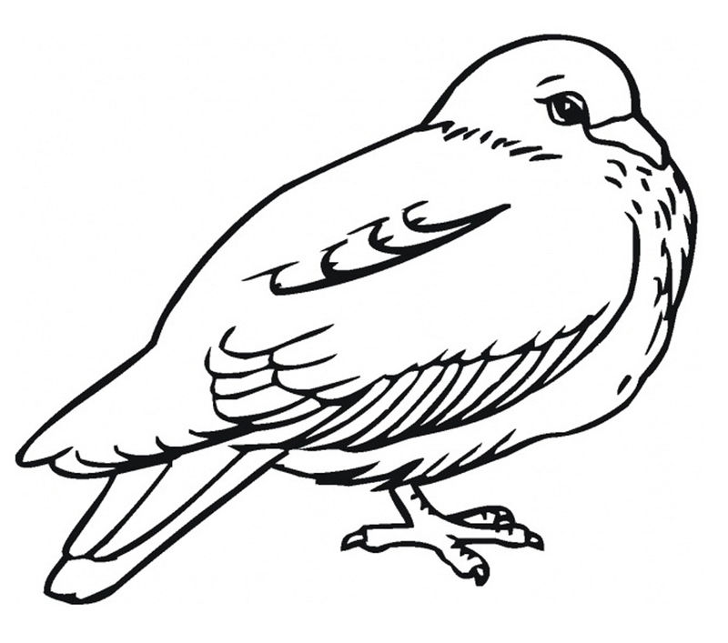 Pigeon Bird Coloring Pages 001