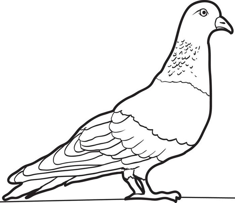 Pigeon Color Pages 001